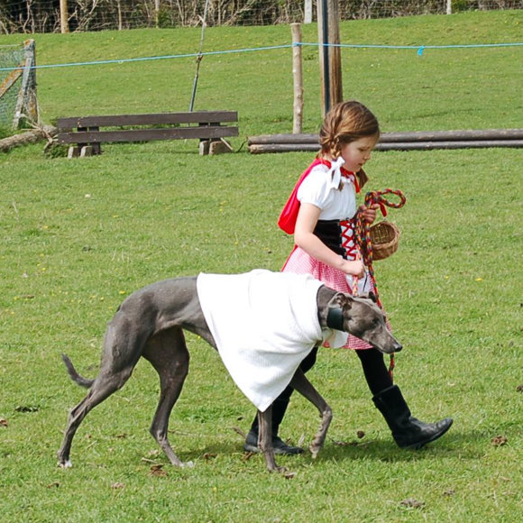 Young girl walking a slender grey dog.